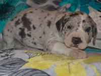 Lazer is a blue merle great dane male puppy. He was