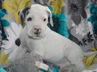 Olaf is a purebred great dane male puppy. If you are