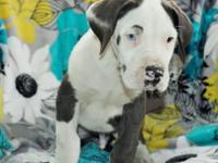 :Panda is a big bold Great Dane male puppy. He likes to
