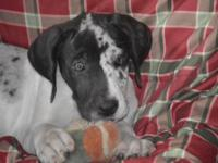 Nicole is a purebred Great Dane puppy. This girl is