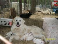 Pure bred Great Pyrenees. 2 females & & 3 males left.
