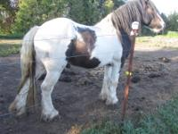 Mordecai is a wonderful breedng Gypsy stallion .He can