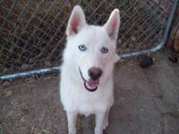 I have a 7 month old pure bred female Husky. I have her