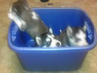 Husky puppies born Oct 25 13 you can also visit them