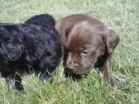 I have 4 pure bred lab puppies left 8 weeks old I have