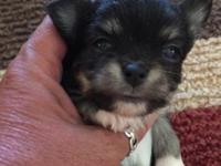 I have 1 boy left he is a Tri-color longhair Chihuahua.