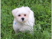 Pure Breed Maltese Puppy Available to approved Homes