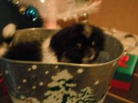 For Sale: Male Pekingese puppy, Has had his 1st and 2nd