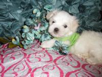 **Male Maltese Puppies Available** Born June 1st 2015