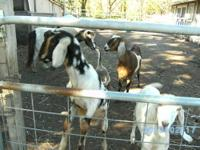 Four pure bred Nubians. The oldest is Claire, red w/