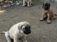 I have Pure-bred Old English Mastiff Puppies for sale.