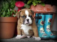 We have beautiful olde english bulldog puppies