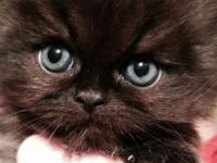 I have actually 4 Pure Bred Persian kittens that will