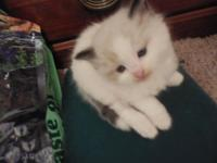 Pure bred Rag Doll kittens, seal mitted Health cert.