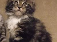 Purebred Registered Maine Coon Kittens from