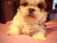 3 month old pure bred shih tzu puppy named Toby. Had
