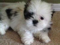 Pure bred 9 week female gold/white shih tzu. Very sweet