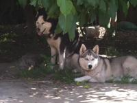 I have 4 Siberian Husky Puppies there all Females and