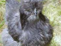 BEAUTIFUL SILKIES VERY FRIENDLY PARENTS ON PREMICE