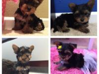 Hi we have four 11 week old yorkie young puppies who