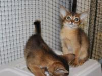 Abyssinian Kittens girls and boys. They are pet/show