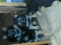 PureBreed German Shepherd Puppies!!!! Sire and Dam