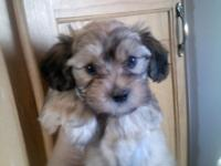 male havanese young puppy. He was raised in our home