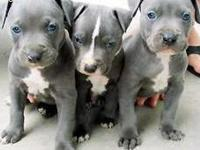 Available from this litter of pure breed blue nose