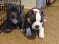 I have 3 American bully's 2 are female 1 is a male