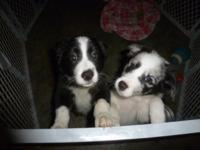 Pure Breed - Border Collie Puppy (1x Boy and 1x Girl)