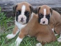 Pure breed Boxer puppies looking for a loving forever