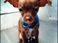 Leo is a 5 month old pure species guy Chihuahua puppy.
