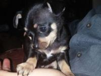 I have a 8 week old pup she is pure breed chihuahua she