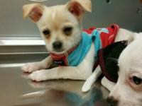 Adorable , loveable, energetic chihuahuas for sale that
