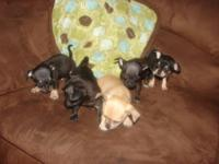 Chihuahua Puppies for sale. Puppies are showing