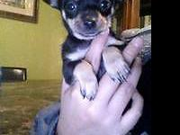 i have a pure breed chihuahua she is 9 weeks old she is