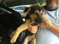 Pure breed registered German Shepherd puppies. 11 weeks