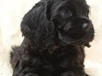 JUST BORN 6 BEAUTIFUL BLACK COCKERSPANIELS. 3 BOYS AND