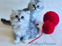 IMAGES OF THE ACTUAL KITTENS. -Gorgeous, pure-breed