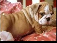 Pure Breed English Bulldog Puppies availableWell
