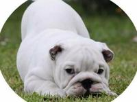 Animal Type: Dogs III young English dogs ready for a