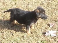 Pure Breed Female German Shepherd Puppy - 9 Weeks Old I