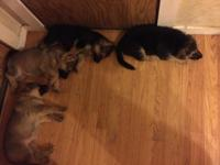 German Shepherd puppies. 3 female and 3 male. Two sable