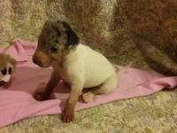 4 week old dane female will be ready for her new home