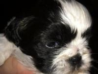 Purebred Imperial Shih Tzu puppies that will be ready