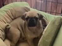 Pure Breed very cute Pug...we love him so dearly but we