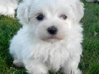 Animal Type: Dogs Breed: Maltese Maltese puppies ready
