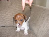 Rare colored brindle piebald mini Dachshund male puppy,