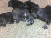 We have a trash of pure type baby schnauzer new puppies