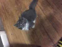 8 Week old Napoleon Munchkin kitten for sale. She has a